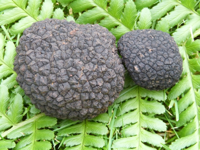 English Autumn Truffles