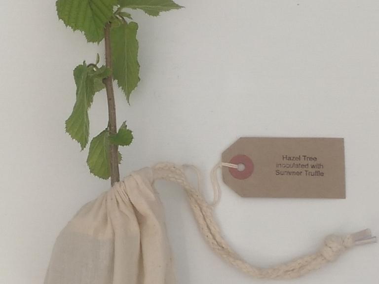 Hazel Truffle Tree present
