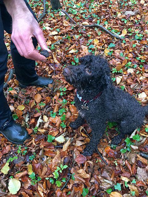 truffle hound finds truffle!