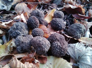Truffles harvested from an English woodland