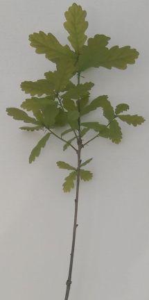 English Oak Truffle Tree