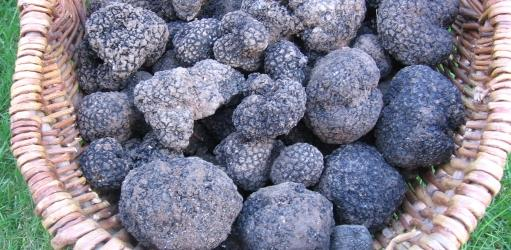 Picture shows Autumn truffles from a Dorset woodland