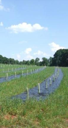 A newly established truffle plantation or orchard.