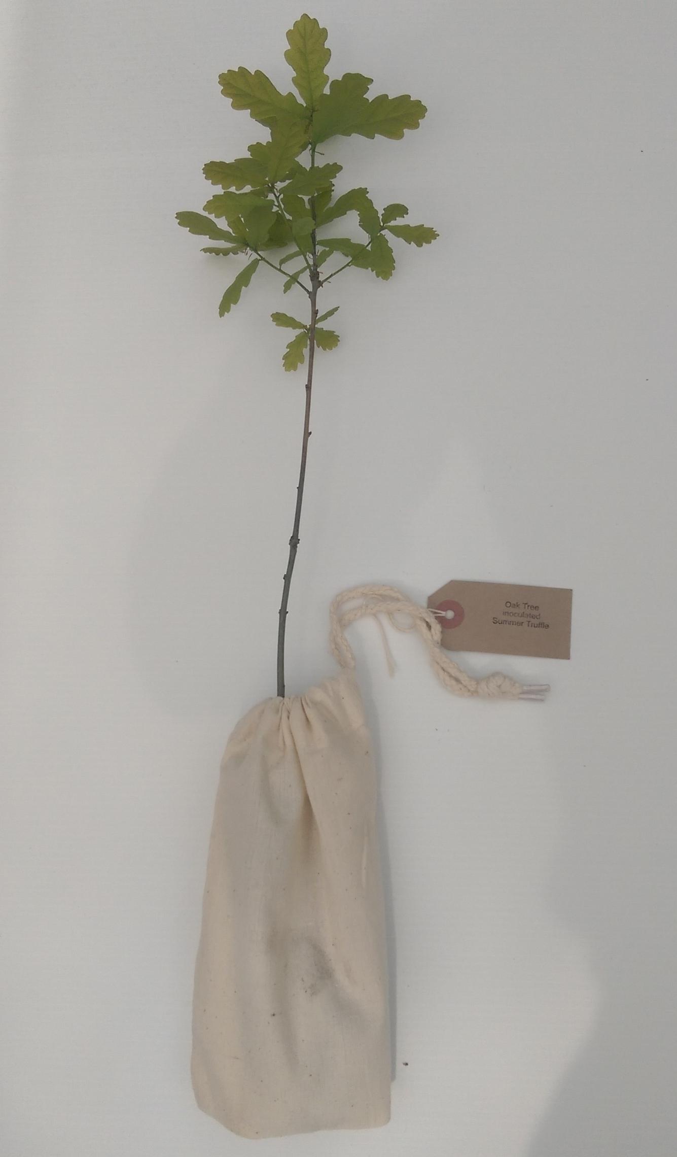 Oak Truffle Tree