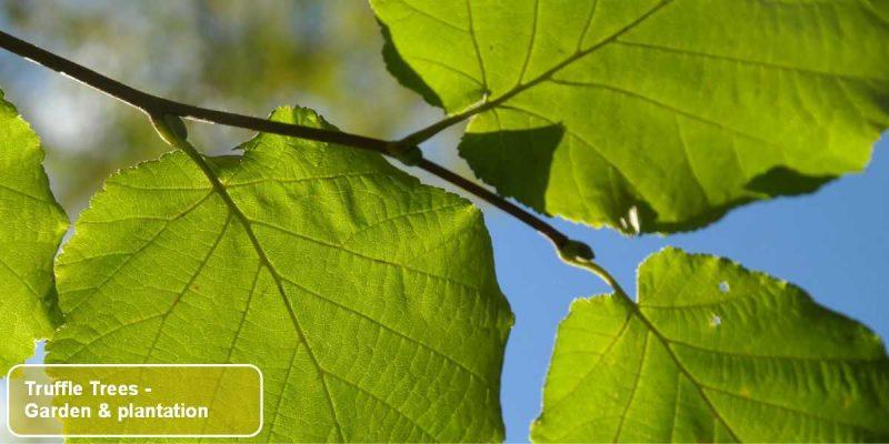 The English Truffle Company - Truffle Trees - garden, orchards and plantations