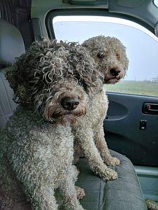 Italian truffle dogs