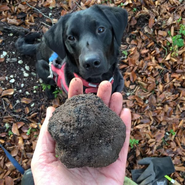 Truffle hound and good sized truffle