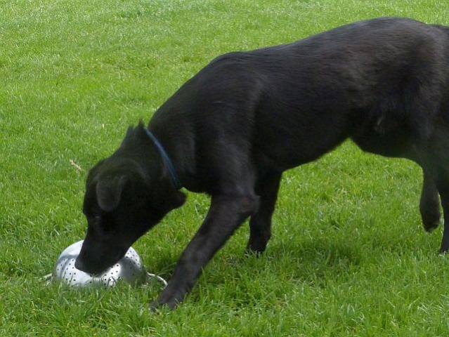 Workshop: Another Labrador locates the hidden truffle scent.