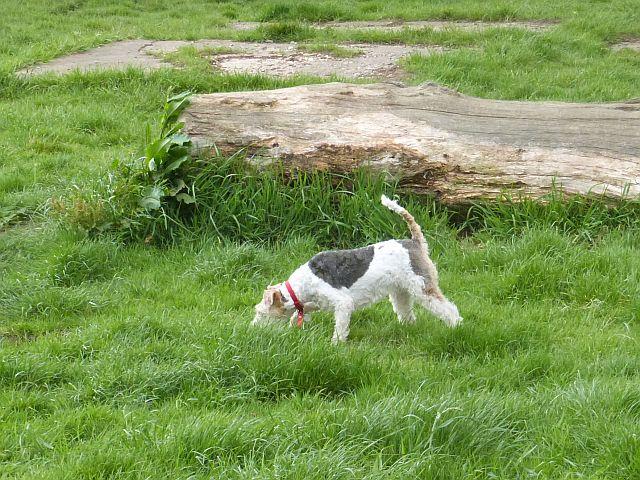 Workshop: A Fox Terrier has got the hang of it.