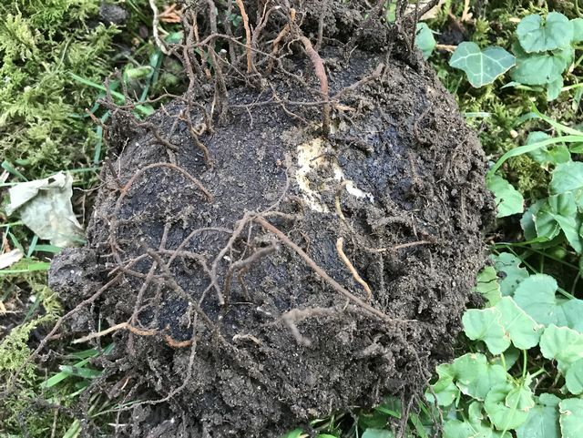 A Black truffle look-alike - a type of plant gall.