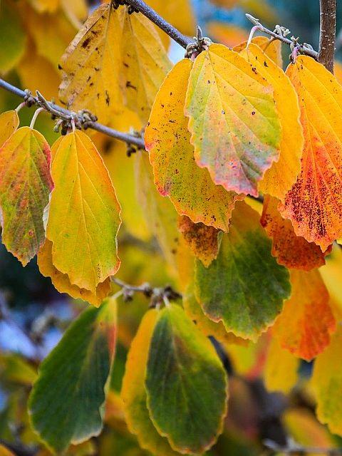 Hazel in Autumn