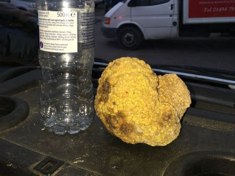 Crown plant gall - confused with a white truffle