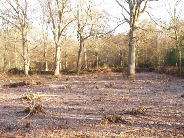 Hazels recently coppiced in Black Park