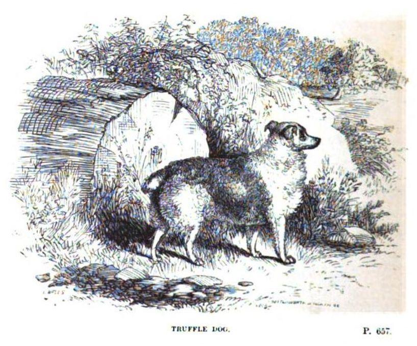 Truffle Dog - J. H. Walsh