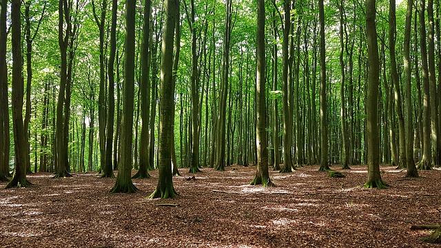 Aging beech plantation